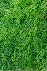 ΑΝΗΘΟΣ (Anethum graveolens L.)