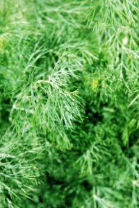 ΚΟΛΙΑΝΔΡΟΣ (Coriandrum sativum L.)