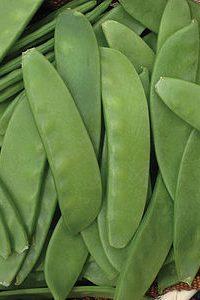 ΜΠΙΖΕΛΙ (Pisum sativum)