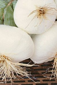 ΚΡΕΜΜΥΔΙ (Allium cepa) ΜΙΚΡΗΣ ΗΜΕΡΑΣ