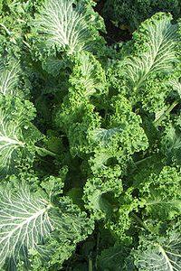 ΛΑΧΑΝΙΔΑ (Brassica oleracea L. var. Acephala)