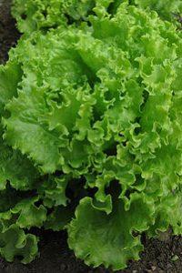 ΜΑΡΟΥΛΙ ΣΓΟΥΡΟ (ΣΑΛΑΤΑ) (Lactuca sativa acephala)