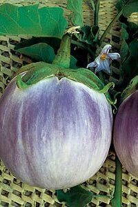 ΜΕΛΙΤΖΑΝΑ (Solanum melongena)