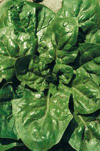 ΣΠΑΝΑΚΙ (Spinacia oleracea)