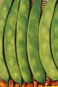 ΦΑΣΟΛΙΑ ΑΝΑΡΡΙΧΩΜΕΝΑ (Phaseolus vulgaris)