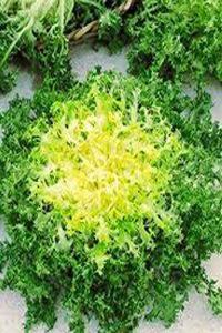 ΑΝΤΙΔΙ (Cichorium endivia crispum)