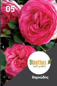ROSES THAMNODI A