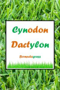 cynodon dactylon berm