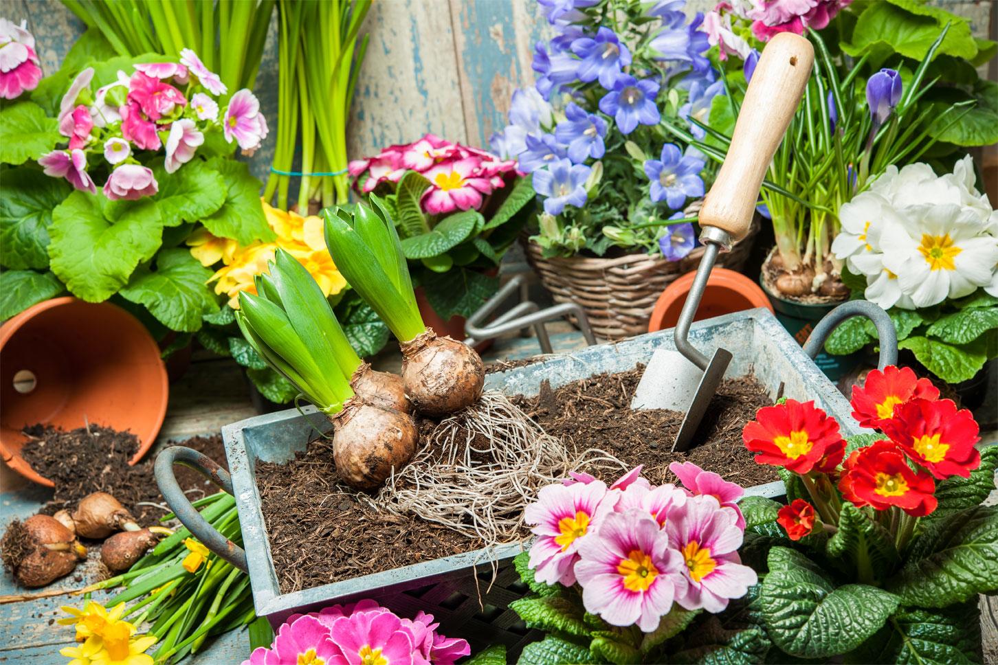 dianthos gardening